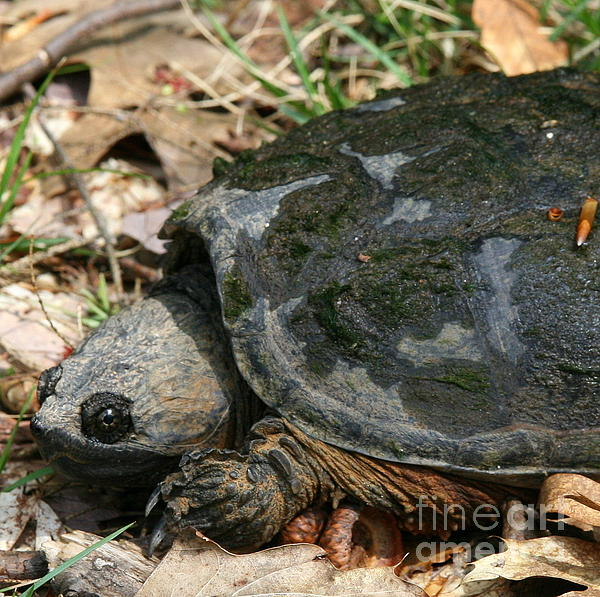 Neal  Eslinger - Snapping Turtle