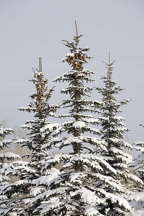 Snow Covered Evergreen Trees Calgary Print by Michael Interisano