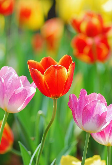 Thunphisit Choksamai - Tulip