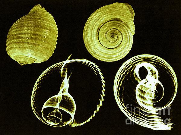 Tun Shell X-ray Print by Photo Researchers