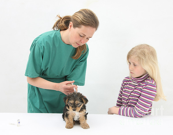 Vet Giving Pup Its Primary Vaccination Print by Mark Taylor