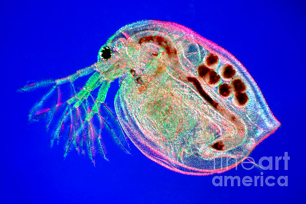 Water Flea Daphnia Magna Print by Ted Kinsman