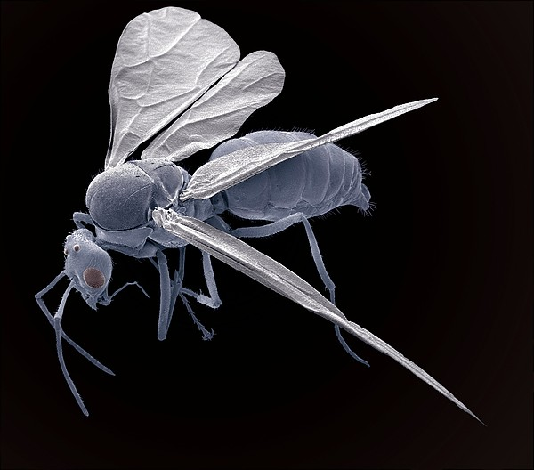 Winged Ant, Sem Print by Steve Gschmeissner