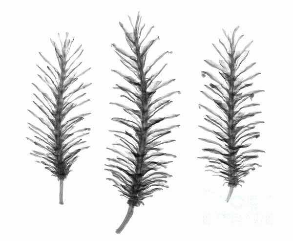 X-ray Of Pine Cones Print by Ted Kinsman