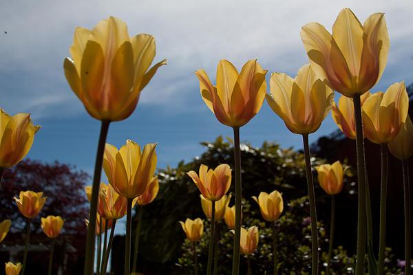 2012 Tulips 06 Print by Robert  Torkomian