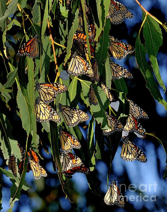 Butterflies Print by Marc Bittan