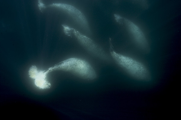 A Pod Of Male Narwhals Gather Print by Paul Nicklen