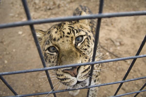 An Amur Leopard Panthera Pardus Print by Joel Sartore