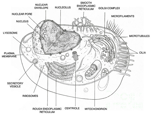 drawing animal cell diagram sketch coloring page animal