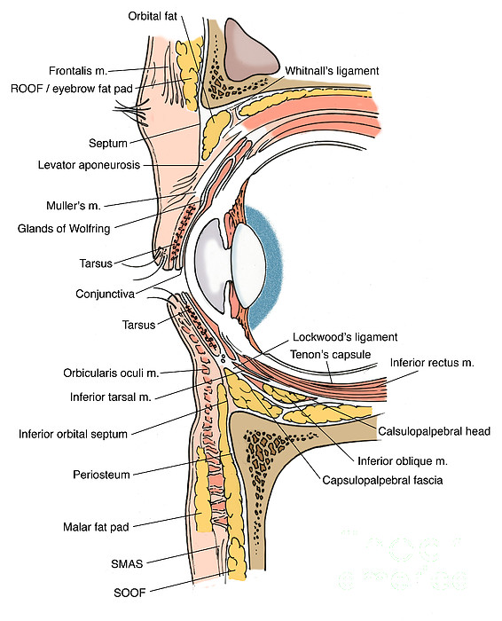 Illustration Of Eye Anatomy Print by Science Source