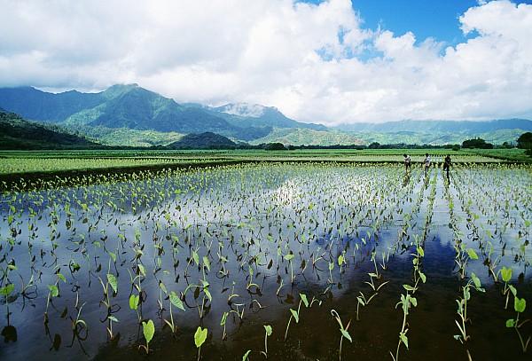 Kauai, Wet Taro Farm Print by Bob Abraham - Printscapes