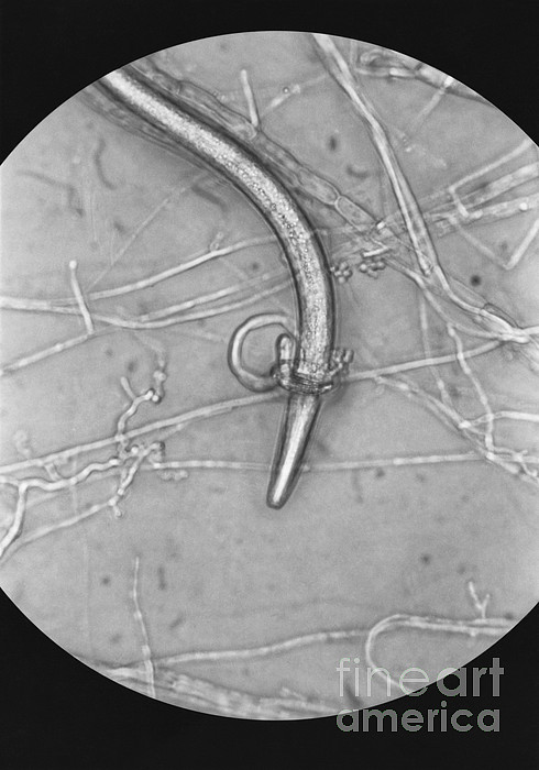 Nematode Snared By Predatory Fungus Lm Print by Photo Researchers, Inc.