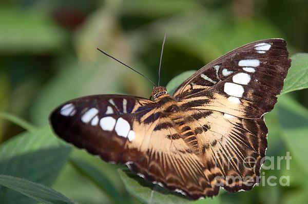 Dejan Jovanovic - Owl butterfly