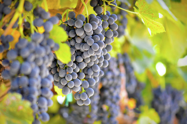 Red Grapes Print by Brandon Bourdages