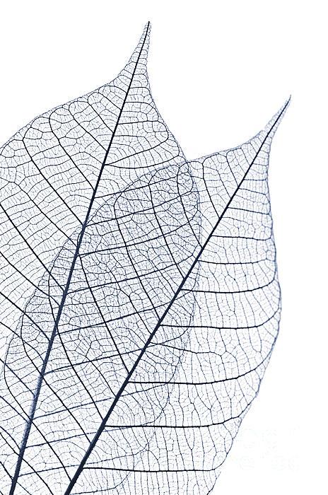 Skeleton Leaves Print by Elena Elisseeva