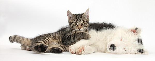 Tabby Kitten & Border Collie Print by Mark Taylor