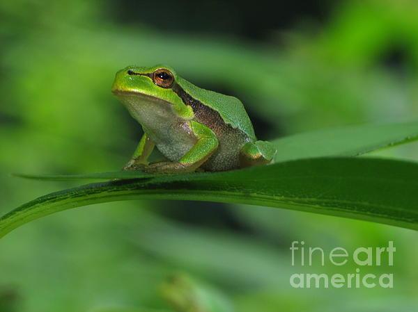 Tree Frog Print by Odon Czintos