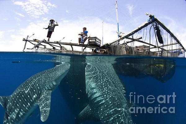 Whale Shark Feeding Under Fishing Print by Steve Jones