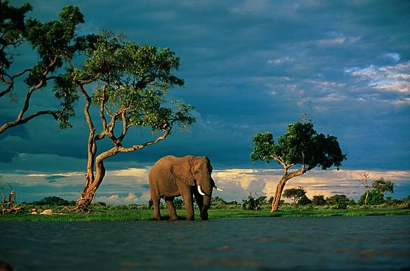 African Elephant Loxodonta Africana Print by Beverly Joubert