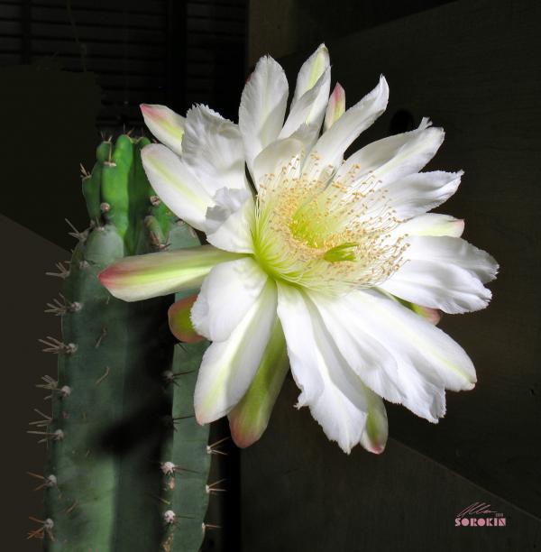Cereus Cactus Flower by Allan Sorokin