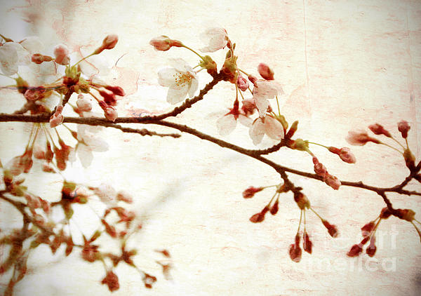 Cherry Blossoms Print by Charline Xia