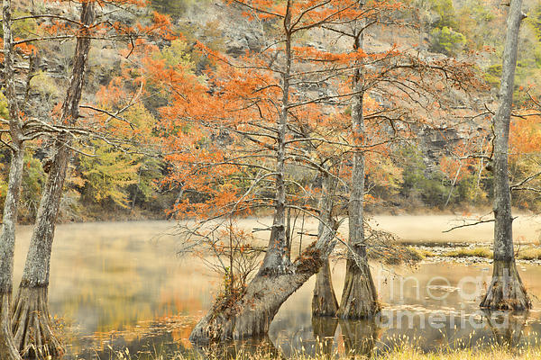 Cypress Trees In The Mist Print by Iris Greenwell