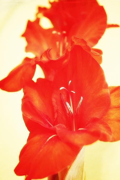 Gladiola Print by Cathie Tyler