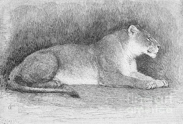 Lion Print by Granger