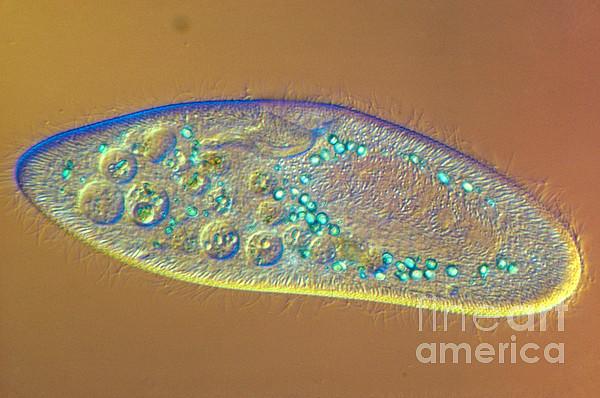 Paramecium Caudatum Print by MI Walker