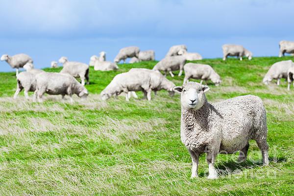 Sheeps Print by MotHaiBaPhoto Prints