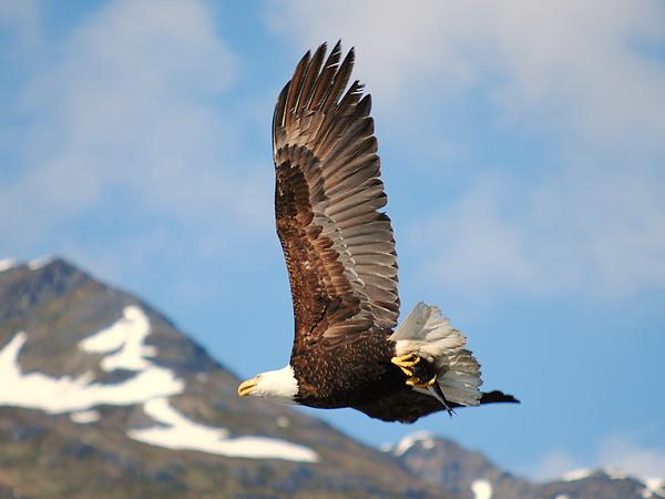 Chris Bailey - Alaskan Bald Eagle