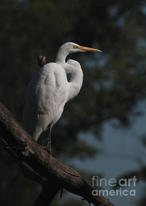 Jack R Brock - Great Egret