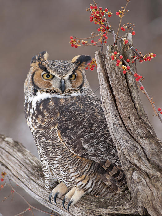 Cindy Lindow - Great Horned Owl
