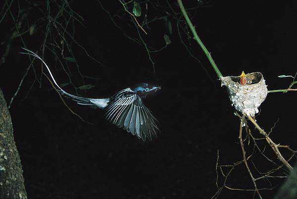 Madagascar Paradise Flycatcher Print by Cyril Ruoso