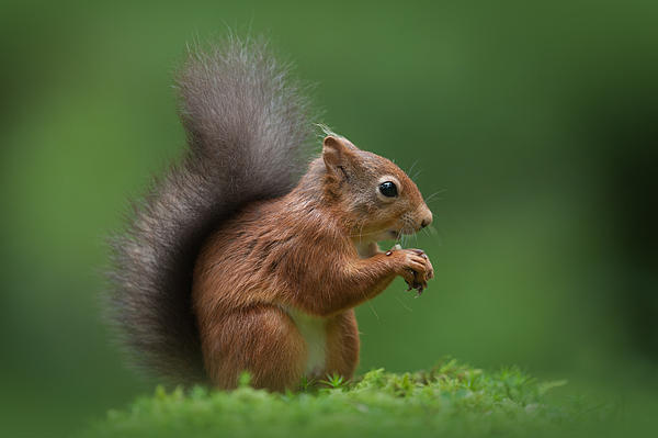 Red Squirrel Print by Andy Astbury