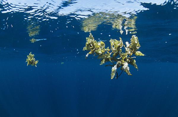 Tropical Seaweed Print by Alexis Rosenfeld