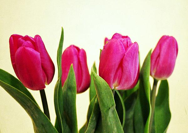 Tulips Photograph