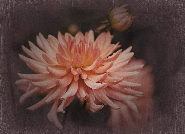 Richard Cummings - Vintage Dahlia