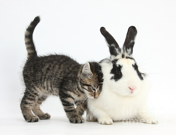 Kitten And Rabbit Print by Mark Taylor