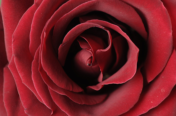 Joel Sartore - A Red Rose Rosaceae