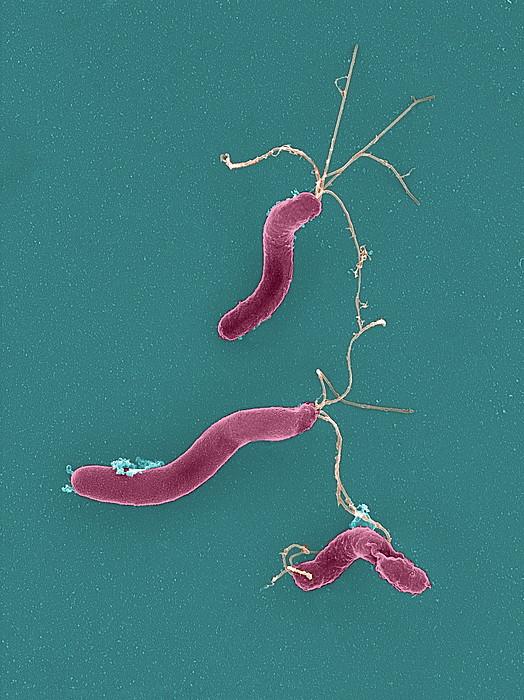 Helicobacter pylori bacteria sem by - Bacterie helicobacter pylori ...