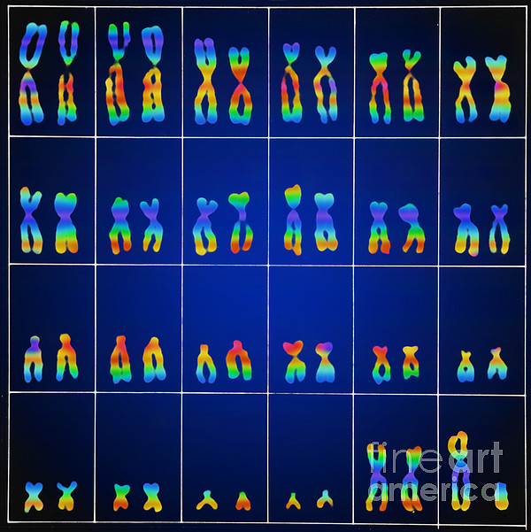 Male Karyotype Print by Omikron