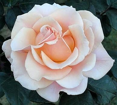 Anand Swaroop Manchiraju - Flowers And Flowers