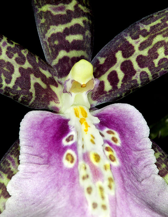 Exotic Orchid Flower Print by C Ribet