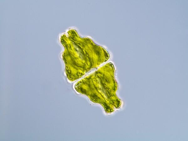 Green Alga, Light Micrograph Print by Gerd Guenther