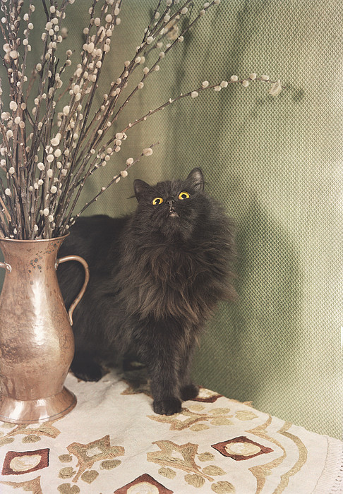 A Black Persian Cat Stares Intently Print By Willard Culver