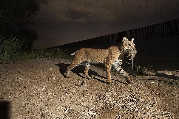 A Bobcat Crosses A Rio Grande Border Print by Joel Sartore