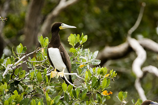 A Brown Booby Sula Leucogaster Print by Tim Laman