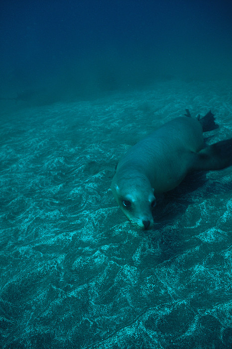 A California Sea Lion Swims Close Print by Heather Perry