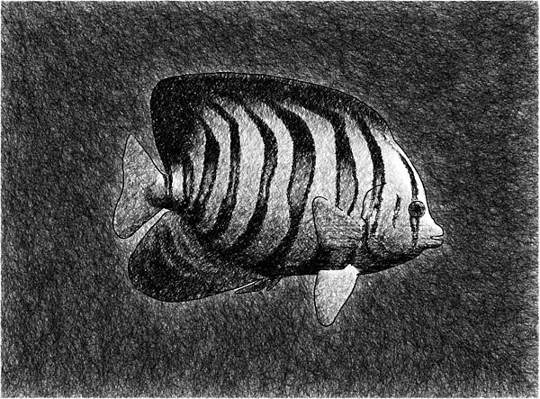 Fotios Pavlopoulos - A Calm Angelfish